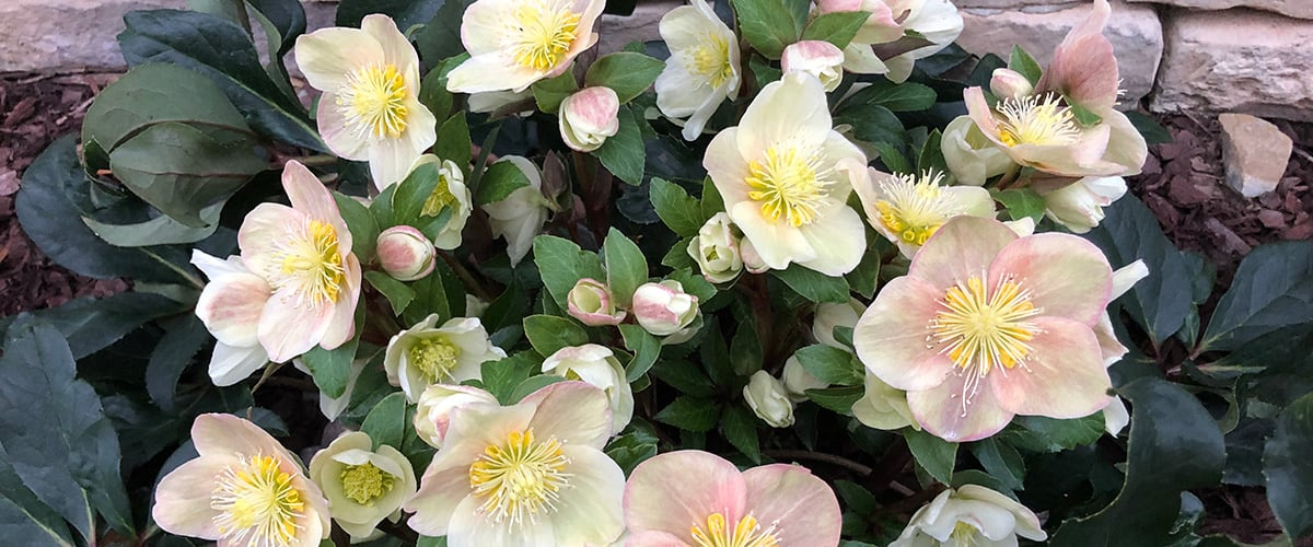 Why You Should Plant Hellebores